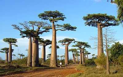 Baobabs in Madagascar
