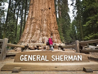 General Sherman Sequoia