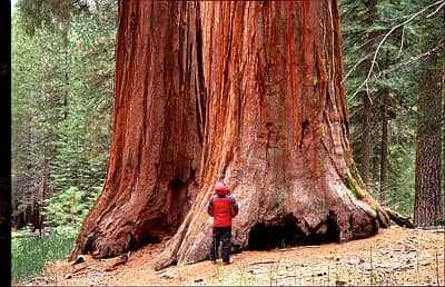 Sequoia in Yosemite