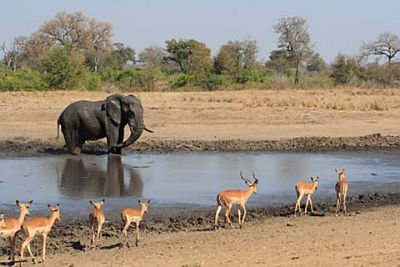 Elephant and antelopes in the Serengeti