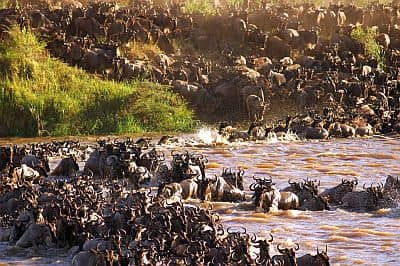 Serengeti, wildebeest crossing a river