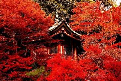 Maple trees in autumn near a temple