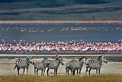Zebras and flamingos in the Ngorongoro area